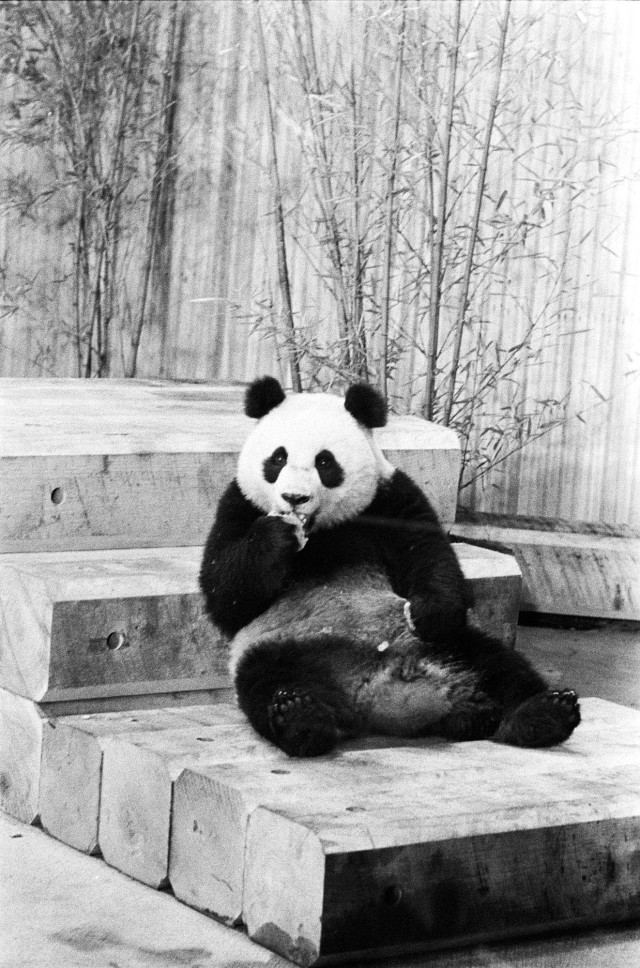 Ling-Ling munches on her snack on her first day in the new Panda House at the National Zoo in Washington, DC, April 16, 1972. (Nixon Library)